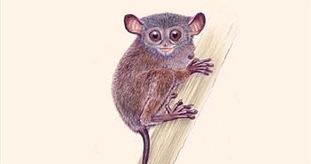Phát hiện loài khỉ lùn Tarsius niemitzi