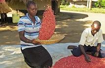 Siêu đậu giúp giải quyết nạn đói trên thế giới