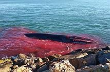 Cá voi khổng lồ đẫm máu bơi vào cảng cầu cứu