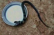 Sự nguy hiểm kinh hoàng của rắn hổ mang hai đầu