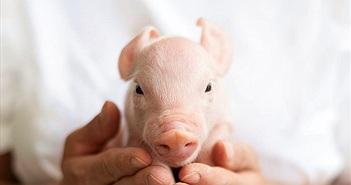 Lợn sinh ra với các tế bào lai khỉ