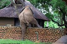 Lén trèo tường ăn cắp xoài, voi khổng lồ bị bắt tại trận
