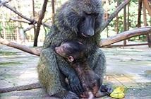 Cái kết hạnh phúc của khỉ đầu chó mồ côi mẹ