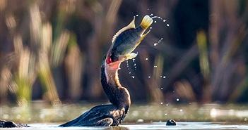 Đẹp mê cảnh chim điên điển vật vã nuốt mồi to quá khổ
