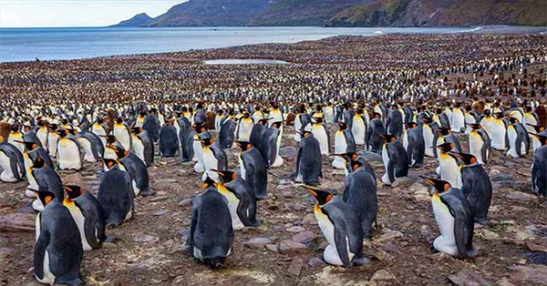 """Chim cánh cụt hoàng đế tụ tập về """"lãnh địa"""" phía nam Đại Tây Dương để bắt đầu mùa sinh sản"""