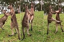 Cảnh kangaroo trẻ kịch chiến, đấm đá nhau túi bụi