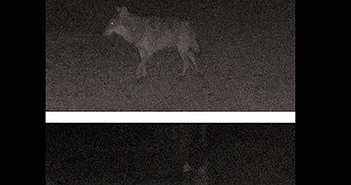 Con sói xám lang thang một mình trong đêm tìm bạn tình