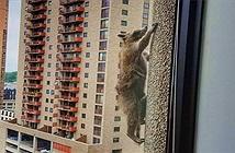 Gấu mèo liều mạng trèo dọc tòa nhà 23 tầng ở Mỹ