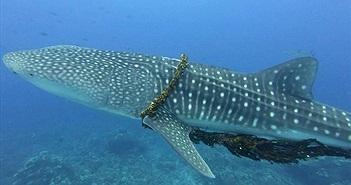 """Cá mập khốn khổ với """"vòng kim cô"""", được giải cứu ngoạn mục"""