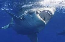 """Đây là sinh vật biển chỉ cần bơi ngang cũng khiến cá mập trắng lớn sợ hãi mà chạy mất dép"""""""