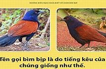 Chim bìm bịp - loài chim có thể giữ nhà thay chó