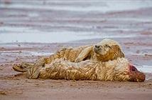 Chuyện lạ hôm nay: Rơi nước mắt hải cẩu khóc, ôm xác bạn đời
