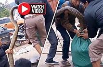 """Video kích điện bắt rắn """"khủng"""" ở Vĩnh Phúc lên báo nước ngoài"""