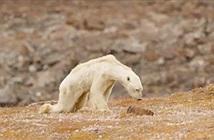 Gấu Bắc cực sắp chết đói gây tranh cãi trong giới chuyên gia