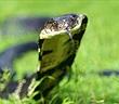 Hổ mang chúa ăn tươi nuốt sống con rắn chuột vô tình