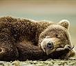 Liệu con người ngủ đông được như gấu, cần sẽ hồi sinh?