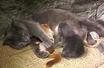 Mèo mẹ nhận nuôi 4 sóc con mồ côi, sống trong ngọt ngào