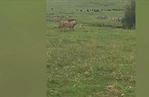 Chó con nổi cáu, dọa cặp sư tử sợ khiếp vía