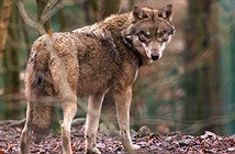 Chó sói lần đầu xuất hiện tại Bỉ sau 100 năm vắng bóng