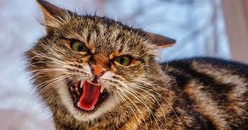 """Choáng váng mèo """"thành tinh"""" đánh bại 3 sói hoang bảo vệ nhà"""