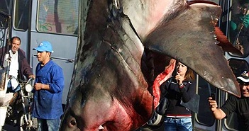 """""""Sốc"""" nặng xem cảnh cá mập trắng """"khủng"""" bị treo ngược"""