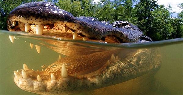 Cá sấu có lưỡi không?