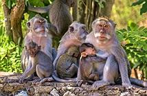 Khỉ ở Indonesia thích trộm đồ đắt tiền