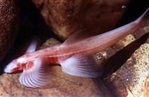 Các loài cá kỳ quái nhất hành tinh