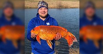 Câu được cá vàng khổng lồ hơn 9kg bằng loại mồi vô cùng đơn giản