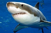 Những sự thật thú vị về cá mập khiến bạn kinh ngạc