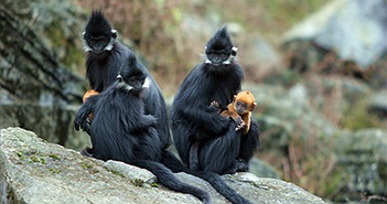 Đàn voọc 90 con, mẹ đen con vàng, thích ăn thảo quả ở xứ Tuyên