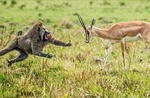 Khoảnh khắc chiến đấu nghẹt thở của động vật hoang dã