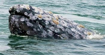 Cá voi xám lập kỷ lục với hành trình bơi hơn 22.500 km