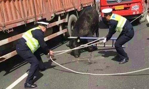 Bò điên xuống đường cao tốc, dân sợ khiếp vía