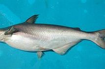 Khám phá ít ai ngờ về cá dứa đặc sản Vũng Tàu