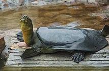 Rùa mai mềm chết ở Trung Quốc, thế giới chỉ còn 3 con cùng loài cụ rùa hồ Gươm