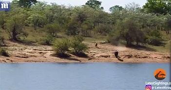 Trên bờ sư tử đuổi, xuống nước cá sấu săn, trâu hành động tạo diễn biến nghẹt thở