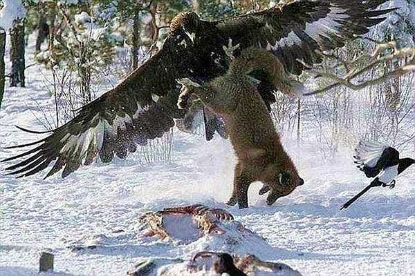 Con sói xám khuất phục trước móng vuốt đại bàng