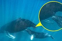 Bí mật cá voi cho con bú sữa như thế nào?