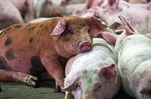 Phát hiện virus gây tiêu chảy ở lợn có nguy cơ lây sang người