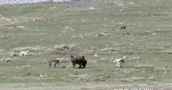 Bò bison dũng mãnh đối đầu đàn chó sói vì điều cảm động