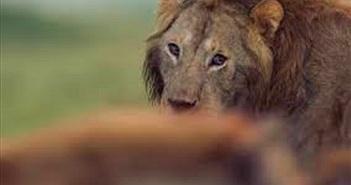 Kịch tính linh cẩu quây sư tử, 3 chọi 30 và kết