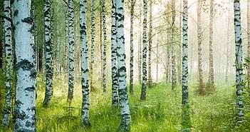 Kỳ lạ cây gỗ cứng hơn thép, đạn bắn cũng khó thủng