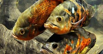 Sửng sốt phát hiện loài cá biết tương tư như người