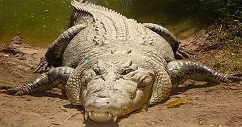 """Vì sao cá sấu có thể """"làm thịt"""" kẻ thù ngay cả khi ngủ?"""