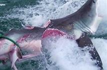 Rợn người cá mập cắn đứt đôi đồng loại trước mắt thợ lặn