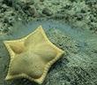 """Sao biển """"bánh bao"""" ở Ấn Độ Dương gây thích thú"""