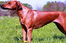 Nguồn gốc và đặc điểm của chó săn sư tử châu Phi