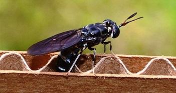 Tận dụng… ruồi, muỗi trong nghiên cứu khoa học