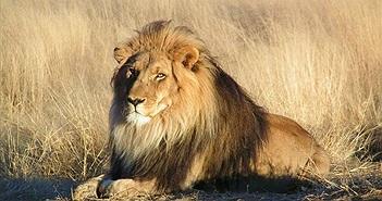 Top khám phá thú vị và ít biết về loài sư tử